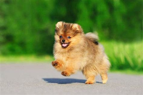 pomeranian boy names pomeranian names for your or puppy