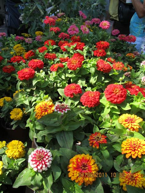Zinnias Flower Garden 17 Best Images About Zinnias On Gardens
