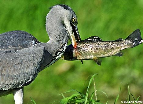 hungry heron spears his lunch stunning pictures of the