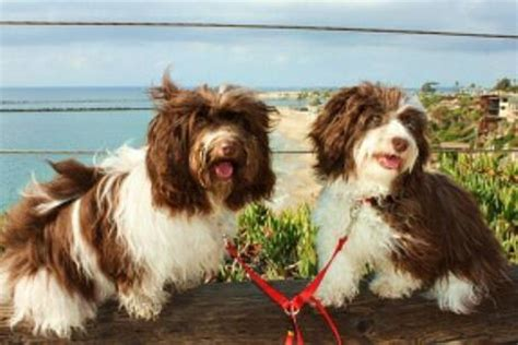 mojito havanese chocolate havanese both parents must carry a chocolate gene havanais