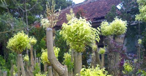 Biji Benih Tanaman Hias Pohon Palem Putri jual pohon anting putri jual tanaman hias