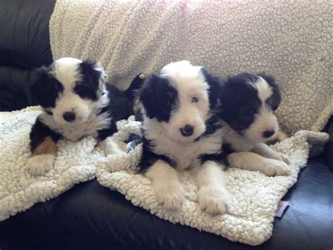 bearded collie puppies for sale bearded collies puppies for sale ellesmere port cheshire pets4homes