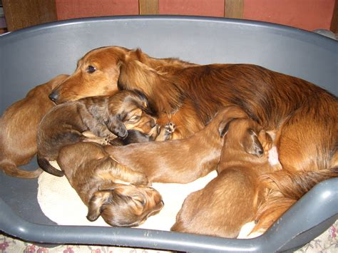 wiener puppies file dachshund puppies jpg