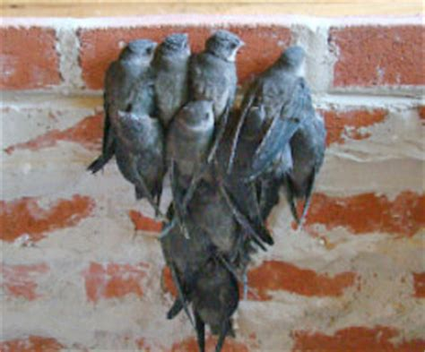 Bats In Fireplace Chimney by Chimney Sweep News What Is That Chirping Coming From Chimney
