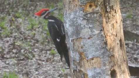 the mighty pileated woodpecker in the process of knocking