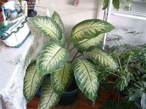 28 best big leaf house plants plant identification closed need identification for tall