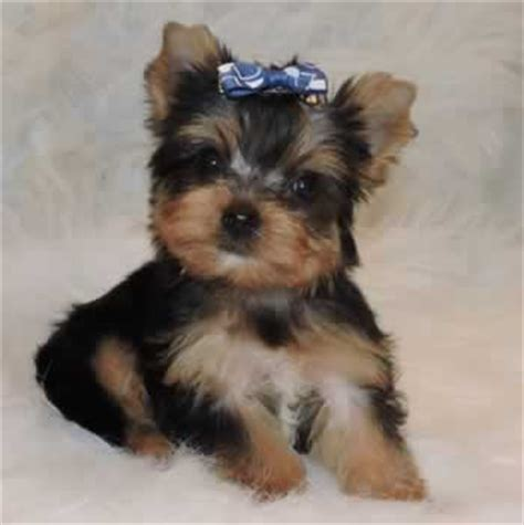 teacup yorkie allergies mini teacup terrier for sale merry photo