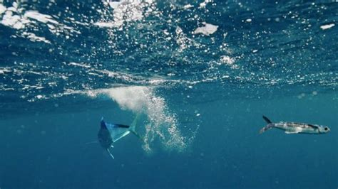 Patung Ikan Marlin Dan Layaran nama ikan laut yang bisa terbang lengkap dengan jenis