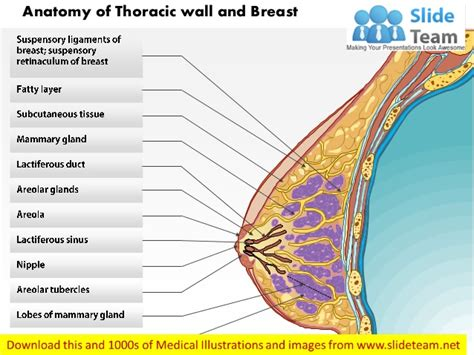 breast anatomy diagram anatomy of thoracic wall and breast images for