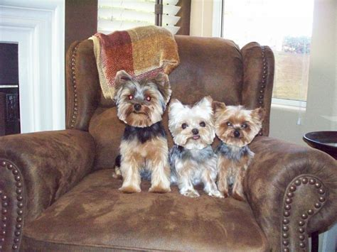 how to give a yorkie a puppy cut yorkie poo teddy cut hairstylegalleries