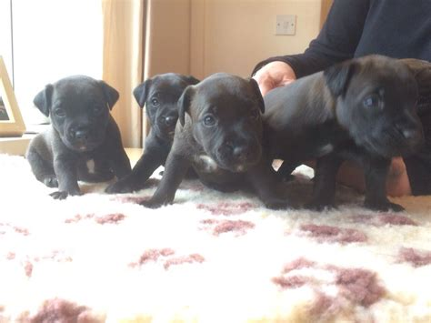 patterdale terrier puppies for sale patterdale terrier puppies for sale batley west pets4homes