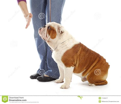 teaching a puppy no obedience royalty free stock photography image 17446477