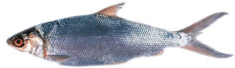 Bibit Ikan Bandeng ikan bandeng think of natura