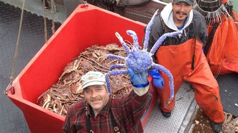 blue colored king crab in alaska abc news