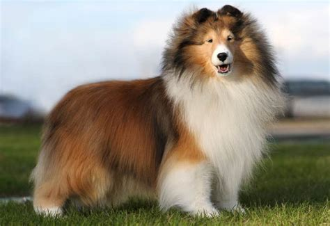 Do Shelties Shed by Mini Sheltie Puppy Breeds Picture