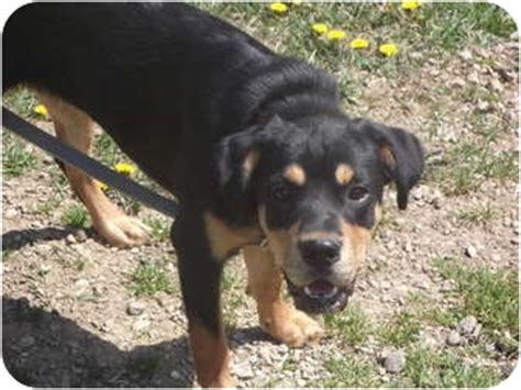 beagle and rottweiler mix adopted puppy coudersport pa rottweiler beagle mix