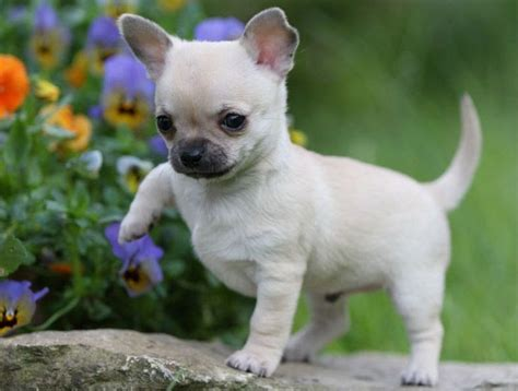 chihuahua puppies price pet price list page 5 of 11 cat all types of pets price