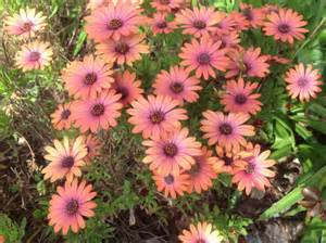 full sun perennials osteospermums for fabulous color