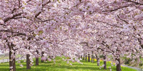 cherry blossom trees cherry blossom trivia facts about cherry blossoms