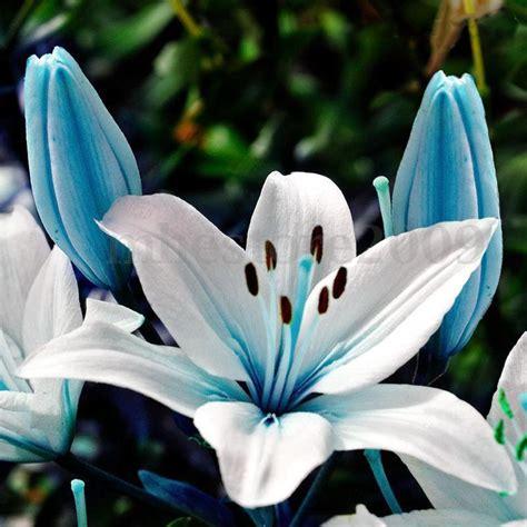 fiore flowers 50pcs blue plant seeds potted bonsai lilium