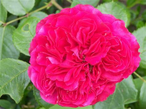 Leonardo Da Vinci Pflege 3888 by Rosa Beliebte Pflanzen Erfahrungen Green24