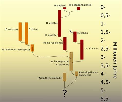 wann lebten die neandertaler datei stammbaum der entwicklung des menschen png