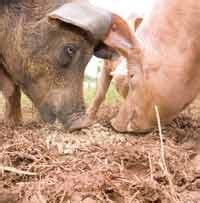 pigs unearth bomb on wiltshire farm farmers weekly