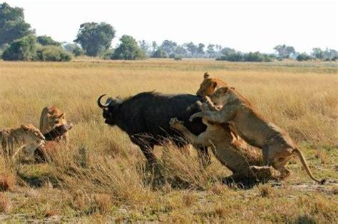 imagenes leones cazando imagenes de pumas cazando para colorear imagui
