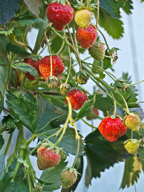 Strawberry Garden by Tower Garden Strawberry Crop Backyard Tower Garden