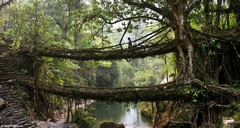 meghalaya villagers create living bridges by training