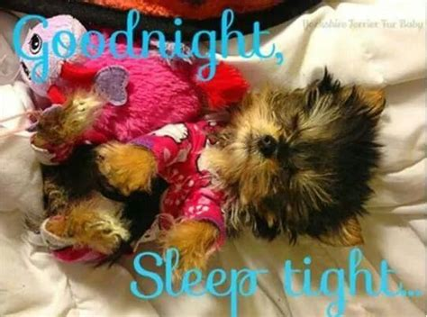 how do yorkies sleep 888 best images about yappy for yorkies on chihuahuas terrier