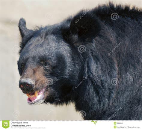 Bears Smile s smile royalty free stock image image 2608026