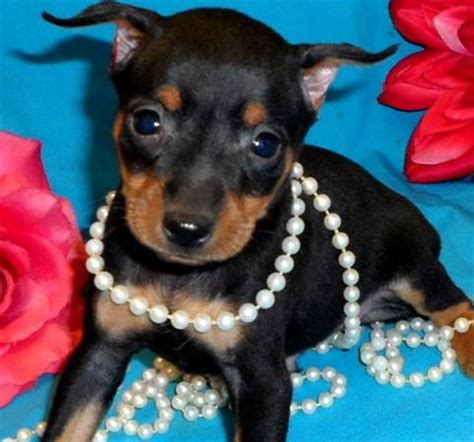 doberman puppies for sale florida puppies for sale in florida petsale inc