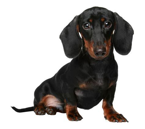 decke hund miniature dachshund