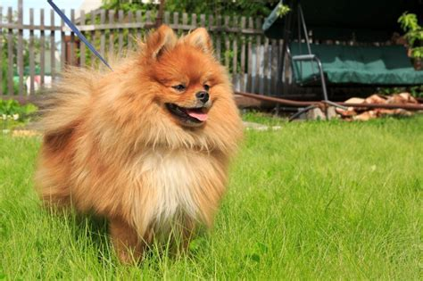 pomeranian facts 8 pomeranian facts that will your mind