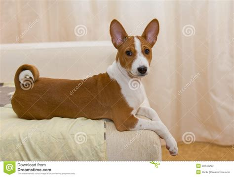 basenji puppies price basenji puppy rest on a sofa stock photos image 30245203