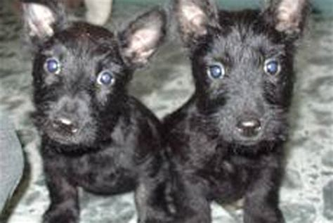 puppies for sale in ny state scotties scottish terriers puppies for sale in westchester ny
