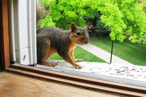 How To Get Rid Of Squirrels In Attics Squirrel Removal Method