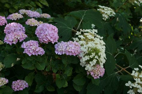 when to prune flowering shrubs pruning summer flowering shrubs fashioned hydrangeas