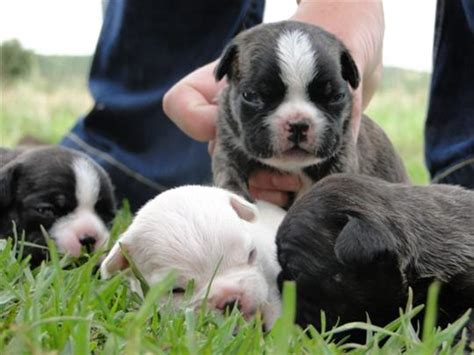 shorty bull puppies shorty bull info history temperament puppies pictures