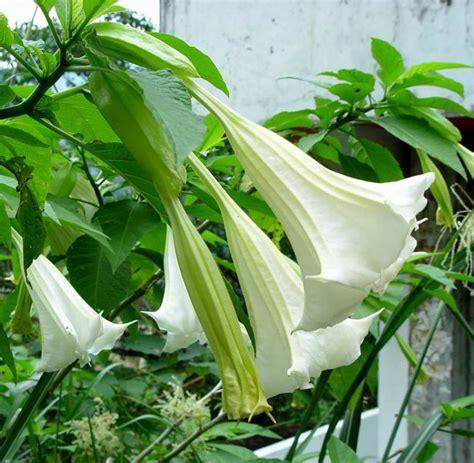 piante da cortile 25pcs semi mandala fiore giardino bonsai cortile datura