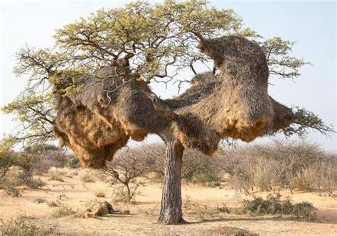 odd africa nests of the sociable weaver bird philetairus socius at