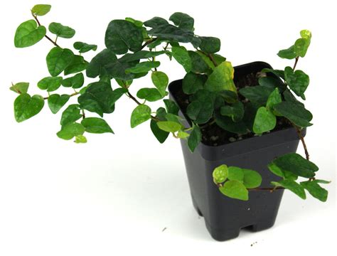 Dollar Rambat Dinding Tanaman Dolar Rambat menanam dollar rambat climbing fig gardening id