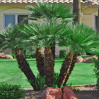 mediterranean fan palm tree trees e l m landscaping design inc