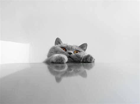 cat wallpaper pack hd cat wallpaper pack driverlayer search engine