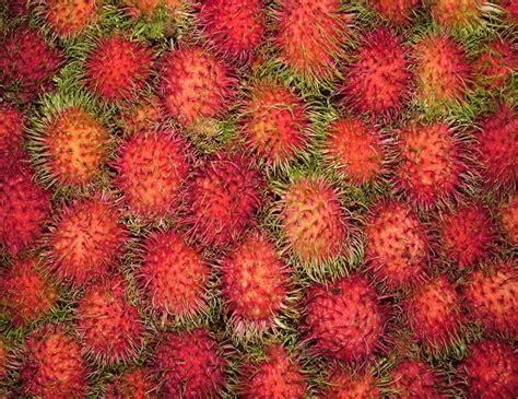 Jual Bibit Pohon Rambutan Rapiah katalog produk silakan klik jual bibit rambutan binjai
