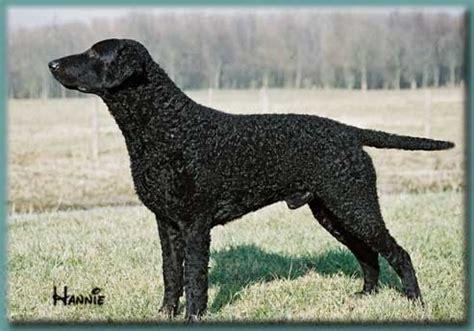 Curly Coated Retriever Club | Dog Breeds A - H | Pinterest ...