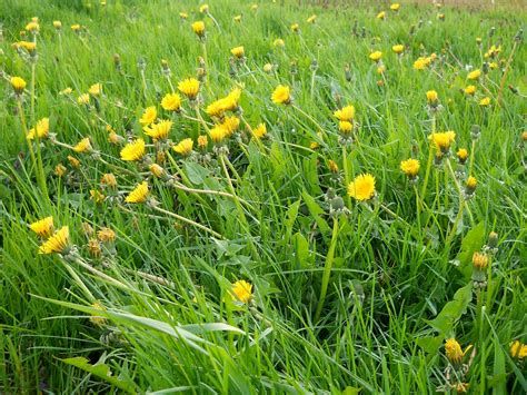 lawn weeds with yellow flowers