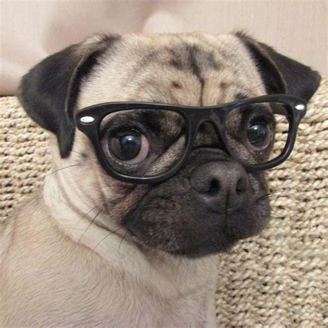 pug with glasses who s the cutest among these pugs with glasses http weloveourpugs net whos cutest