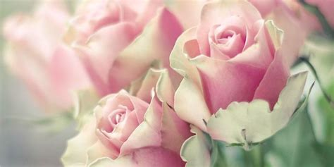 information about rose farming facts about roses things you didn t about roses